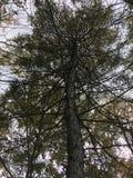 Το σκοτεινό δέντρο, βλέπει επάνω πρώιμο δάσος φθινοπώρου Στοκ Φωτογραφίες