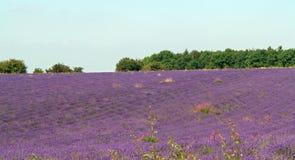 Το σκούπισμα lavender Στοκ Εικόνες