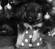 Το σκυλάκι κοιτάζει από το μικροσκοπικό επισημασμένο κιβώτιο Χριστουγέννων στο κόκκινο στοκ φωτογραφίες