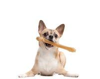 Το σκυλάκι κρατά το κόκκαλο στα δόντια Στοκ εικόνες με δικαίωμα ελεύθερης χρήσης