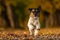 Το σκυλάκι τεριέ του Jack Russell τρέχει σε ένα δάσος λεωφόρων στοκ εικόνες