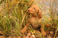 Το σκυλί έκρυψε στην πράσινη χλόη πίσω από τη λίμνη στοκ εικόνα με δικαίωμα ελεύθερης χρήσης