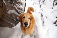 Το σκυλί αναπαράγει χρυσό retriever κάθεται, αυξάνοντας το κεφάλι του και εξετάζοντας τη κάμερα, το χειμώνα στο χιόνι στοκ φωτογραφία