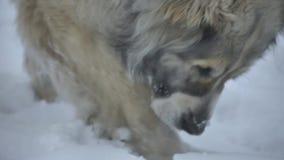 Το σκυλί βρήκε έναν κλαδίσκο στο χιόνι φιλμ μικρού μήκους
