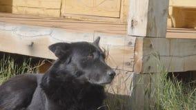 Το σκυλί βρίσκεται στο υπαίθριο, στηργμένος μαύρο σκυλί χλόης απόθεμα βίντεο