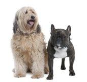το σκυλί γαλλικά ζευγών Στοκ Εικόνα