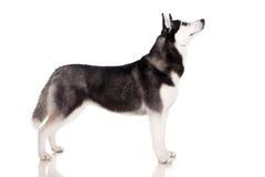το σκυλί γεροδεμένο εμφανίζει Σιβηριανό Στοκ Εικόνα
