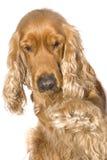 το σκυλί δίνει το πόδι Στοκ Φωτογραφία
