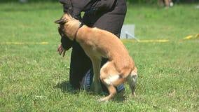 Το σκυλί δαγκώνει σκληρά έναν βραχίονα χορευτών ` s απόθεμα βίντεο
