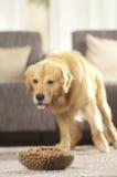 Το σκυλί δεν μπορεί να περιμένει να φάει τα τρόφιμά του Στοκ φωτογραφία με δικαίωμα ελεύθερης χρήσης