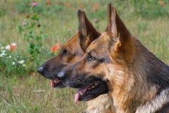 το σκυλί διευθύνει δύο Στοκ εικόνα με δικαίωμα ελεύθερης χρήσης