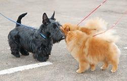 το σκυλί εμφανίζει Στοκ Φωτογραφία