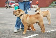το σκυλί εμφανίζει Στοκ εικόνες με δικαίωμα ελεύθερης χρήσης
