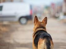 Το σκυλί εξετάζει τη διάβαση των αυτοκινήτων στο δρόμο Στοκ Εικόνες
