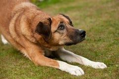 Το σκυλί θέλει να παίξει Στοκ Φωτογραφίες