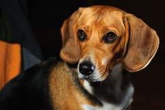 το σκυλί κοιτάζει Στοκ φωτογραφία με δικαίωμα ελεύθερης χρήσης