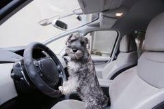 Το σκυλί κουταβιών Schnauzer κάθεται στο κάθισμα αυτοκινήτων στοκ εικόνες