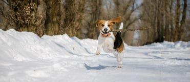 Το σκυλί λαγωνικών τρέχει και παίζει στο χειμερινό δάσος μια ηλιόλουστη παγωμένη ημέρα Στοκ εικόνα με δικαίωμα ελεύθερης χρήσης