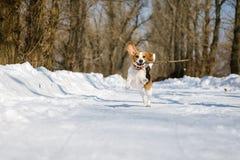 Το σκυλί λαγωνικών τρέχει και παίζει στο χειμερινό δάσος μια ηλιόλουστη παγωμένη ημέρα Στοκ εικόνες με δικαίωμα ελεύθερης χρήσης