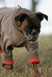 το σκυλί μπόξερ έντυσε τα &gamm Στοκ Εικόνα