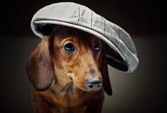 Το σκυλί μωρών κουταβιών Dachshund στην ποιότητα στούντιο επανδρώνει το καπέλο Στοκ εικόνα με δικαίωμα ελεύθερης χρήσης