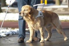 Το σκυλί οδηγών βοηθά ένα τυφλό άτομο Στοκ φωτογραφία με δικαίωμα ελεύθερης χρήσης