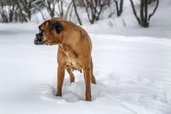 Το σκυλί παίζει στο χειμερινό πάρκο Με ένα γάντι στα δόντια του στοκ φωτογραφία με δικαίωμα ελεύθερης χρήσης