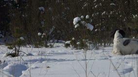 Το σκυλί παίζει στο χιόνι απόθεμα βίντεο