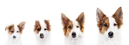 Το σκυλί παρουσιάζει την αύξηση ή φάση αύξησης, από το κουτάβι στον ενήλικο στοκ εικόνες με δικαίωμα ελεύθερης χρήσης
