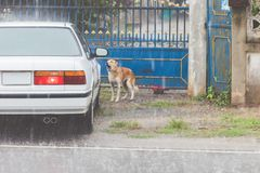 Το σκυλί περιμένει τον ιδιοκτήτη να ανοίξει την πόρτα ενώ η βροχή πέφτει στοκ εικόνα