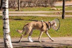 Το σκυλί περπατά κάτω από την οδό σε ένα ιατρικό περιλαίμιο και έδεσε το πόδι του μετά από τη χειρουργική επέμβαση στοκ φωτογραφία