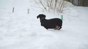 Το σκυλί περπατά στο χιόνι και τους φλοιούς απόθεμα βίντεο