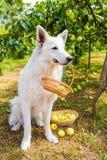 Το σκυλί ποιμένων είναι με τα μήλα στο καλάθι στοκ φωτογραφία με δικαίωμα ελεύθερης χρήσης
