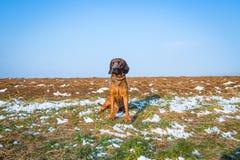 Το σκυλί πουλιών κάθεται σε έναν χιονώδη τομέα Στοκ εικόνα με δικαίωμα ελεύθερης χρήσης