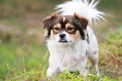 Το σκυλί που εξετάζει τη κάμερα στοκ εικόνες