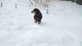 Το σκυλί που περπατά στο χιόνι και την αποφλοίωση απόθεμα βίντεο