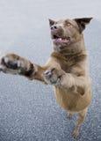 το σκυλί που πηδά μεταχε&i Στοκ εικόνα με δικαίωμα ελεύθερης χρήσης