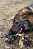 το σκυλί ροκανίζει το παιχνίδι Στοκ Φωτογραφία
