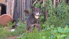 Το σκυλί στην αλυσίδα ρουθουνίζει ποιο ` s στο περιβάλλον φιλμ μικρού μήκους