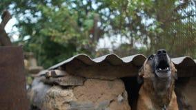 Το σκυλί στις κινήσεις αλυσίδων πίσω στο φόβο στο ρείθρο και τους φλοιούς του από εκεί Αγροτικά κατοικίδια ζώα, φρουρά προαυλίων  φιλμ μικρού μήκους
