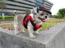 Το σκυλί στο κοστούμι διαβόλων ταξιδεύει στοκ φωτογραφίες με δικαίωμα ελεύθερης χρήσης