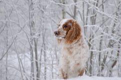 Το σκυλί στο χειμερινό δάσος κοιτάζει Στοκ Φωτογραφίες