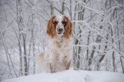 Το σκυλί στο χειμερινό δάσος κοιτάζει Στοκ φωτογραφίες με δικαίωμα ελεύθερης χρήσης