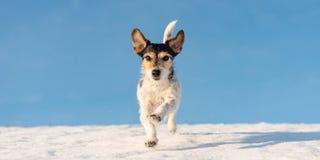 Το σκυλί τεριέ του Jack Russell τρέχει το χειμώνα πέρα από ένα χιονώδες λιβάδι μπροστά από το μπλε ουρανό στοκ φωτογραφία με δικαίωμα ελεύθερης χρήσης