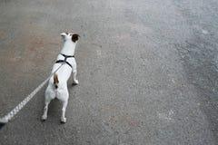 το σκυλί του Russell γρύλων με τον ιδιοκτήτη κρατά ένα λουρί σκυλιών Στοκ φωτογραφίες με δικαίωμα ελεύθερης χρήσης