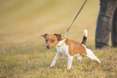Το σκυλί τραβά στο λουρί - ανυψώστε το τεριέ του Russell με γρύλλο στοκ φωτογραφία