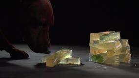 Το σκυλί τρώει ένα κομμάτι της ζελατίνας κρέατος σε μια σκοτεινή επιφάνεια απόθεμα βίντεο
