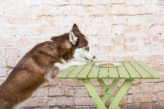 Το σκυλί φλοιών ` s κλέβει ένα κομμάτι του λουκάνικου από τον πίνακα στο μυστικό από τους ιδιοκτήτες Στοκ εικόνα με δικαίωμα ελεύθερης χρήσης