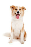 το σκυλί φωτογραφικών μηχανών φαίνεται κόκκινο στοκ φωτογραφία με δικαίωμα ελεύθερης χρήσης