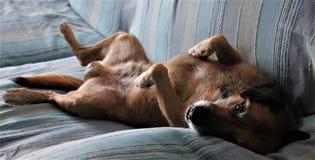 Το σκυλί χαλαρώνει στον καναπέ Στοκ Φωτογραφία